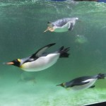 Pinguine im Melbourne Aquarium