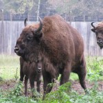 Wisent im Nationalpark